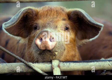 Piglet(Sus scrofa domestica) on a organic farm ecological - Stock Photo