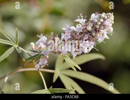 Chaste Tree - Vitex agnus-castus Used in alternative medicine - Stock Photo