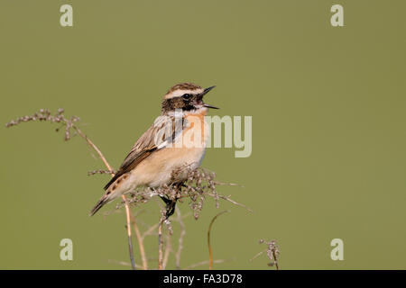 Whinchat / Braunkehlchen ( Saxicola rubetra ) perched on dry twigs in front of clean green background, sings its - Stock Photo