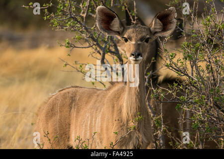 A youngfemale greater kudu (Tragelaphus strepsiceros) peering out from the bushes, Okavango Delta, Botswana - Stock Photo