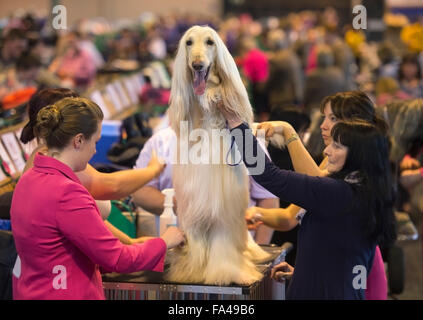 Crufts dog show at the NEC, Birmingham - an Afghan Hound with the pet name 'Marcus' is groomed before showing - Stock Photo