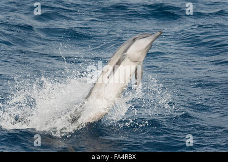 Hawaiian/Grays Spinner Dolphin, Stenella longirostris, spinning, Maldives, Indian Ocean. - Stock Photo