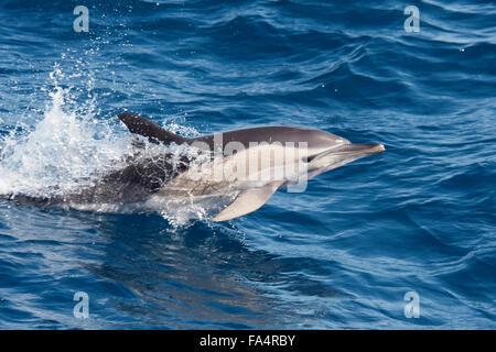 Short-beaked Common Dolphin, Delphinus delphis, porpoising, Azores, Atlantic Ocean. - Stock Photo