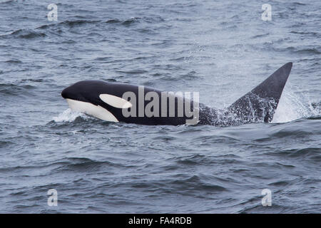 Large bull or male Orca or Killer Whale, surfacing with large, errect dorsal fin showing, Monterey, California, - Stock Photo
