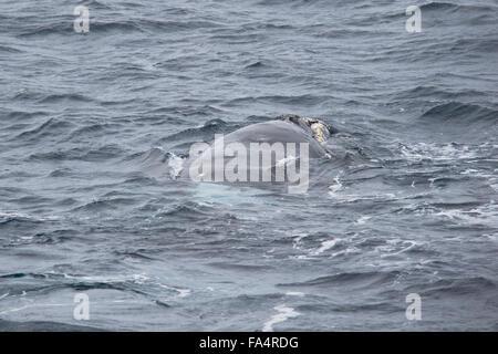 Adult Female, Southern right whale, Eubalaena australis, surfacing, Weddell Sea, Antarctica - Stock Photo