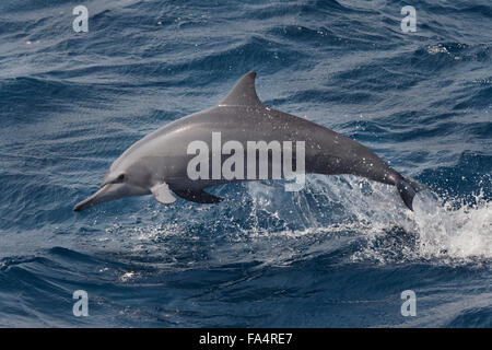 Hawaiian/Grays Spinner Dolphin, Stenella longirostris, porpoising, Maldives, Indian Ocean. - Stock Photo