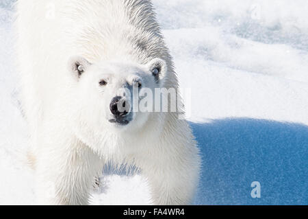 Close Up of a Young adult Polar Bear with tags in his ears so he can be tracked , Ursus maritimus, Svalbard Archipelago, - Stock Photo