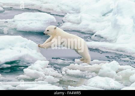 Cute Polar Bear Cub, Ursus maritimus, jumping from an ice floe on the Olgastretet Pack Ice, Svalbard Archipelago, - Stock Photo