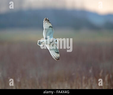 Short-eared Owl, Asio flammeus, - Stock Photo