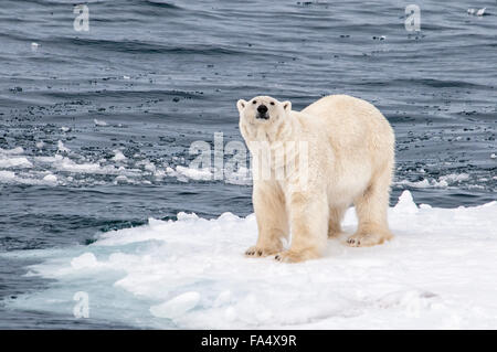 Solitary Polar Bear, Ursus Maritimus, standing on a piece of ice in the arctic sea, Svalbard Archipelago, Norway - Stock Photo