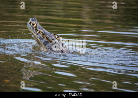 Yacare Caiman, Caiman crocodilus yacare, baring his teeth in a river in the Pantanal, Mato Grosso, Brazil, South America