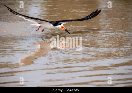 Black Skimmer with reflection, Rynchops niger, fishing in flight, Cuiaba River, Pantanal, Mato Grosso, Brazil, South - Stock Photo