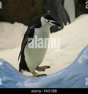 Antarctic Chinstrap Penguin (Pygoscelis antarcticus) - Loro Parque Zoo, Tenerife - Stock Photo