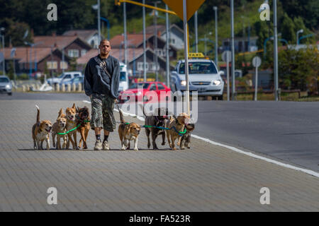 Dog walker walking eight dogs on a lead down a busy street, Ushuaia, Argentina, South America - Stock Photo