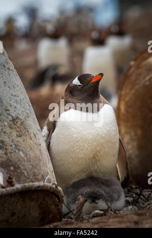 Gentoo penguin (Pygoscelis papua) adult with young, Mikkelsen Harbor, Trinity Island, Antarctica - Stock Photo
