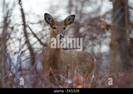 Image with the wide awake deer in the bush - Stock Photo
