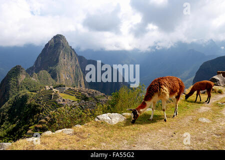 Llama (Lama glama) with juvenile in front of ruined city, Inca city of Machu Picchu, Huayna Picchu Mountain behind - Stock Photo