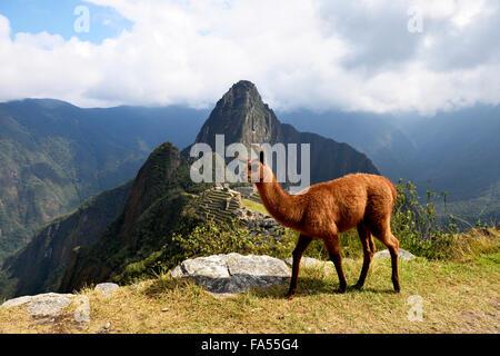 Llama (Lama glama) in front of ruined city, Inca city of Machu Picchu, Huayna Picchu Mountain behind, World Heritage - Stock Photo
