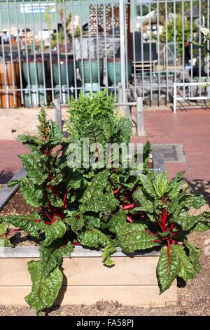 Rheum rhabarbarum or also known as Rhubarb growing on raised garden bed - Stock Photo
