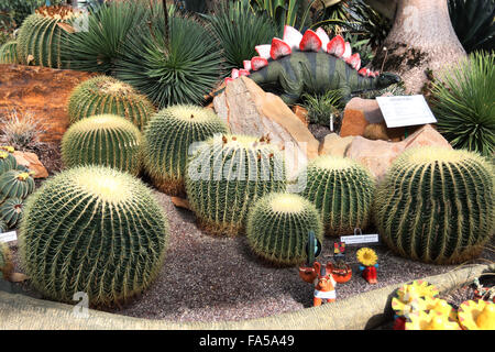 Barrel Cactus growing in greenhouse at local nursery - Stock Photo