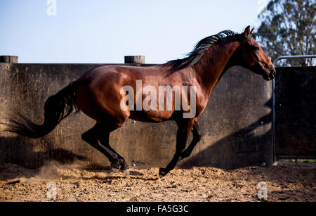 A colt Australian Stock Horse being worked in a round yard in the Victorian High Country. - Stock Photo