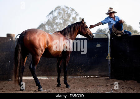 Steve Baird of Bogong Horseback Adventures training a colt Australian Stock Horse in the round yard at Spring Spur. - Stock Photo