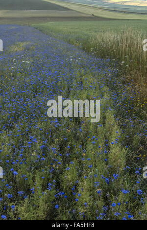 Arable fields with cornflowers in Monti Sibillini National Park, Umbria, Italy - Stock Photo