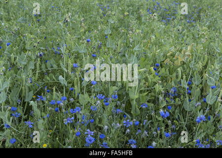 Arable fields with pea crop, and cornflowers in Monti Sibillini National Park, Umbria, Italy - Stock Photo