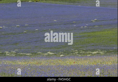 Arable fields with cornflowers and poppies in Monti Sibillini National Park, Umbria, Italy - Stock Photo