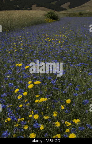 Arable fields with cornflowers and other flowers in Monti Sibillini National Park, Umbria, Italy - Stock Photo