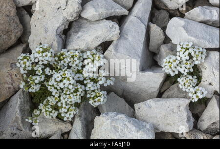 Chamois Cress, Hornungia alpina at high altitude, Dolomites. - Stock Photo