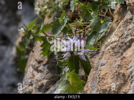 Devil's Claw, Physoplexis comosa in flower on dolomite cliff, Dolomites. - Stock Photo
