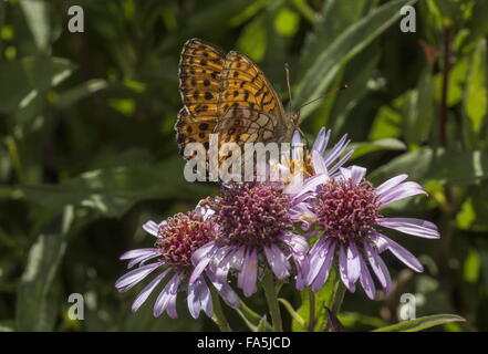 Marbled fritillary,  visiting Aster sibiricus flowers - Stock Photo
