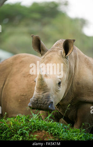 White rhinoceros calf (Ceratotherium simum), Ziwa Rhino Sanctuary, Uganda - Stock Photo