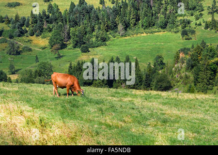Grazing Cow in Pieniny mountains. Summer. - Stock Photo