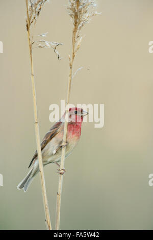 Male Common Rosefinch ( Carpodacus erythrinus ) in breeding dress perched on reed stem, nice colored clean background. - Stock Photo