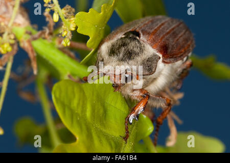Maybeetle, may-beetle, common cockchafer, maybug, Maikäfer, Feld-Maikäfer, Feldmaikäfer, Mai-Käfer, Melolontha melolontha
