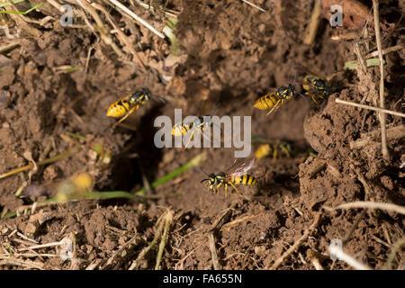Common Wasps Vespula vulgaris flying to nest entrance - Stock Photo