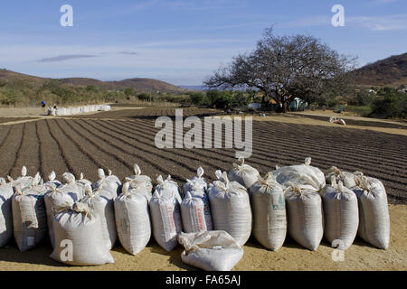 Sacks and yard with drying cafe through the savanna in the Bahian backlands - Stock Photo