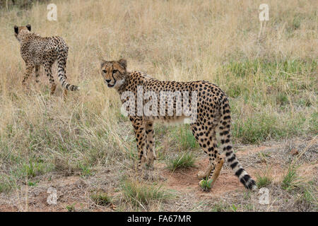 South Africa, Pretoria, De Wildt Shingwedzi Cheetah & Wildlife Preserve & Ann van Dyk Cheetah Center. Cheetahs. - Stock Photo