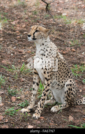 South Africa, Pretoria, De Wildt Shingwedzi Cheetah & Wildlife Preserve & Ann van Dyk Cheetah Center. Cheetah. - Stock Photo