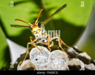 Close up of a wasp guarding hive - Stock Photo