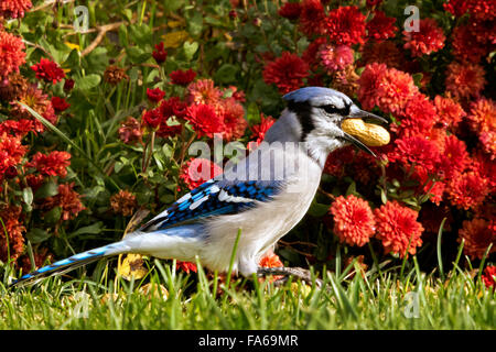 Blue Jay with a peanut in it's mouth, colorado, America, USA - Stock Photo