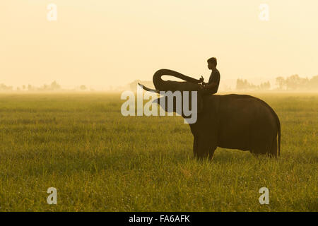 Man sitting on an elephant in a field, Surin province, Thailand - Stock Photo