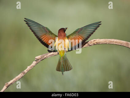 Bee eater bird on a branch with wings spread, Pitillas, Navarra, Spain Stock Photo