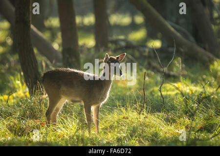 Fallow deer (Dama Dama) fawn in Autumn season. The Autumn fog and nature colors are clearly visible on the background. - Stock Photo