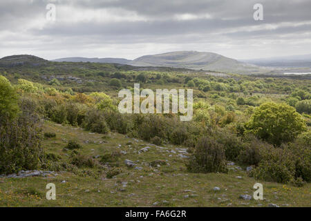 Hazel scrubland and limestone pavement in the Burren National Park in Ireland - Stock Photo
