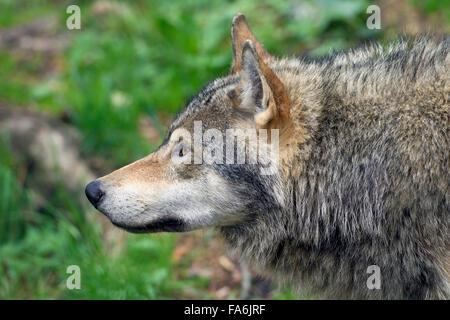 European grey wolf (Canis lupus) close up portrait - Stock Photo