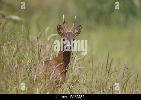 Roe Deer, Capreolus capreolus, male antlers showing,
