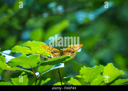 Lesser Marbled Fritillary (Brenthis ino) resting on on leaves in a bush. This big butterfly has orange wings with - Stock Photo